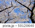 桜 花 春の写真 50120640