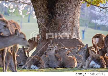 桜と鹿の群れ 奈良県奈良市奈良公園 2019年4月 50125945