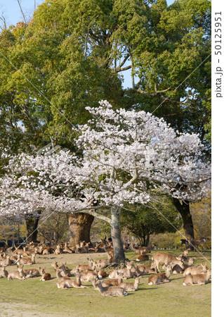 桜と鹿の群れ 奈良県奈良市奈良公園 2019年4月 50125951