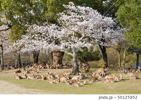 桜と鹿の群れ 奈良県奈良市奈良公園 2019年4月 50125952