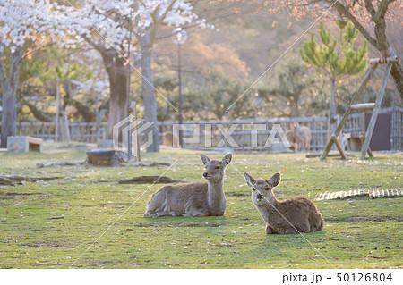 桜と鹿 奈良県奈良市奈良公園 2019年4月 50126804