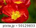 ポピー 花 虞美人草の写真 50129833
