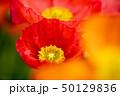 ポピー 花 虞美人草の写真 50129836
