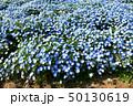 ネモフィラ畑 50130619