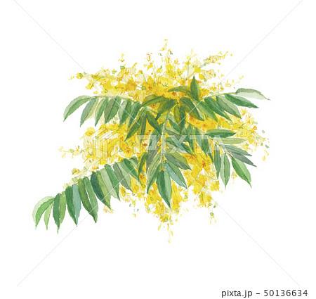 櫨の木 ハゼノキ 50136634