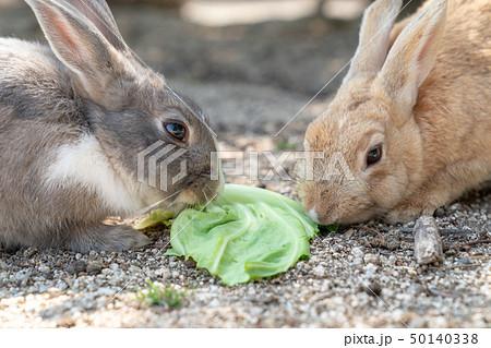 大久野島 キャベツを分け合うウサギ 50140338