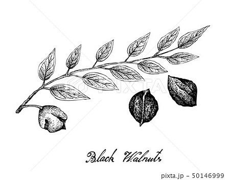 Hand Drawn of Black Walnuts on A Branch 50146999