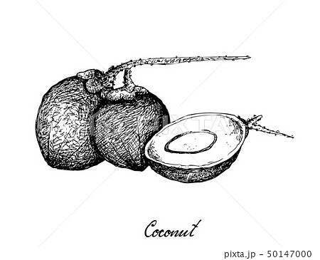 Hand Drawn of Coconut Fruits on White Background 50147000