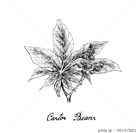 Hand Drawn of Castor Beans on White Background 50147001