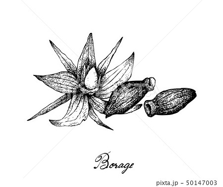 Hand Drawn of Borage Seeds on White Background 50147003