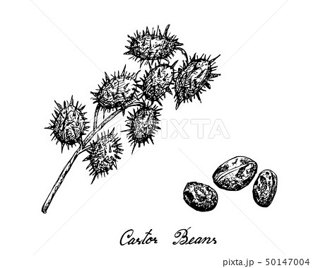 Hand Drawn of Castor Beans on White Background 50147004