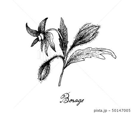 Hand Drawn of Borage Seeds on White Background 50147005
