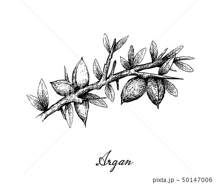 Hand Drawn of Argan Seeds on A Branch 50147006
