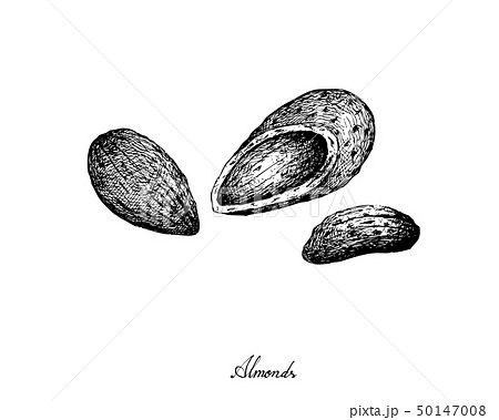 Hand Drawn of Almonds on White Background 50147008