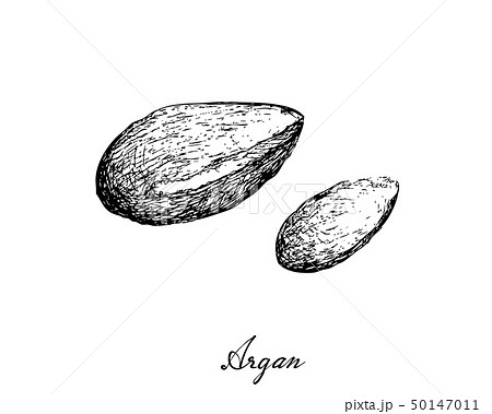 Hand Drawn of Argan Seeds on White Background 50147011