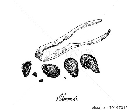 Hand Drawn of Almonds with A Nutcracker 50147012