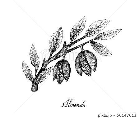 Hand Drawn of Almonds on A Branch 50147013