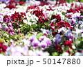 パンジー 花壇 庭の写真 50147880