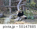 シェーンブルン動物園のパンダ 50147885