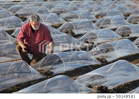 Watermelon or melon planting in field and farmer 50148581