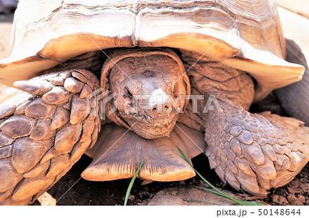 動物園のリクガメ、ケヅメリクガメ、かわいい亀。群馬サファリパーク 50148644