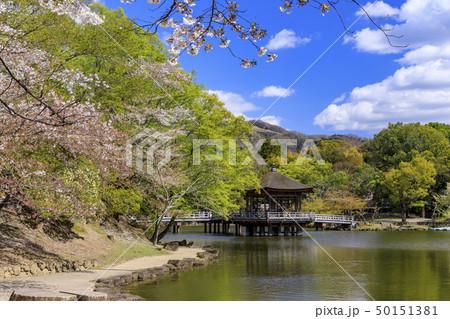 奈良公園 浮御堂 桜 鹿 50151381
