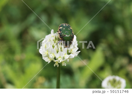 シロツメグサ花に潜るコアオハナムグリ 50151746