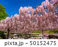 あしかがフラワーパーク 藤 花の写真 50152475