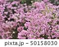 花 ジャノメエリカ アフリカエリカの写真 50158030