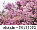 花 ジャノメエリカ アフリカエリカの写真 50158052