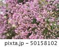 花 ジャノメエリカ アフリカエリカの写真 50158102