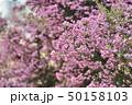 花 ジャノメエリカ アフリカエリカの写真 50158103
