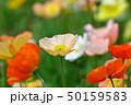 植物 花 ポピーの写真 50159583