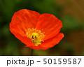 花 ハナ ポピーの写真 50159587