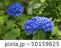 紫陽花 アジサイ あじさいの写真 50159625