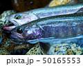 釣り フィッシング 魚の写真 50165553