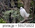 白鷺 鷺 鳥の写真 50171022