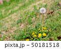 春の野の花 タンポポ 50181518