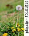 春の野の花 タンポポ 50181519