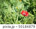 ポピー 赤 花の写真 50184879