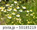 カモミール 花 ハーブの写真 50185219