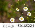 カモミール 花 植物の写真 50185224
