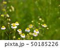 カモミール 花 植物の写真 50185226