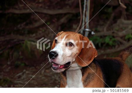 ビーグル犬 50185569