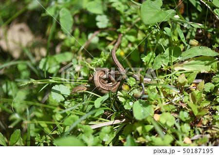 ニホンカナヘビの雌雄 50187195