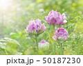 チューリップ 八重咲き 50187230