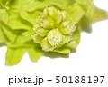 山菜イメージ素材、フキノトウ、白バック 50188197