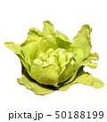 山菜イメージ素材、フキノトウ、白バック 50188199