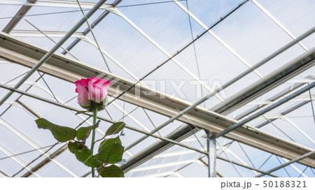 greenhouse with rose flowers 50188321