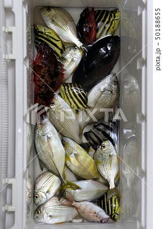 色んな魚 釣果 50188655